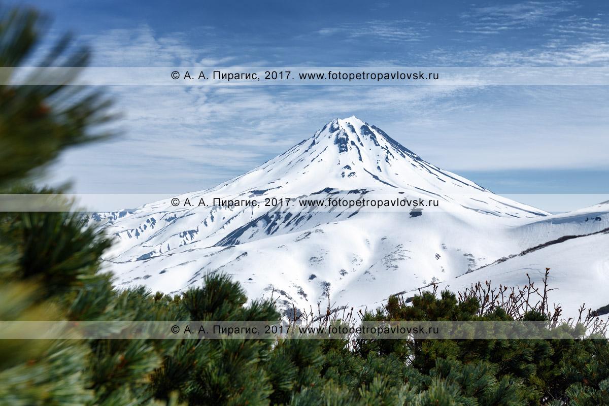 Фотография: вид с Вилючинского перевала на живописный Вилючинский вулкан и вечнозеленый кедровый стланик. Полуостров Камчатка