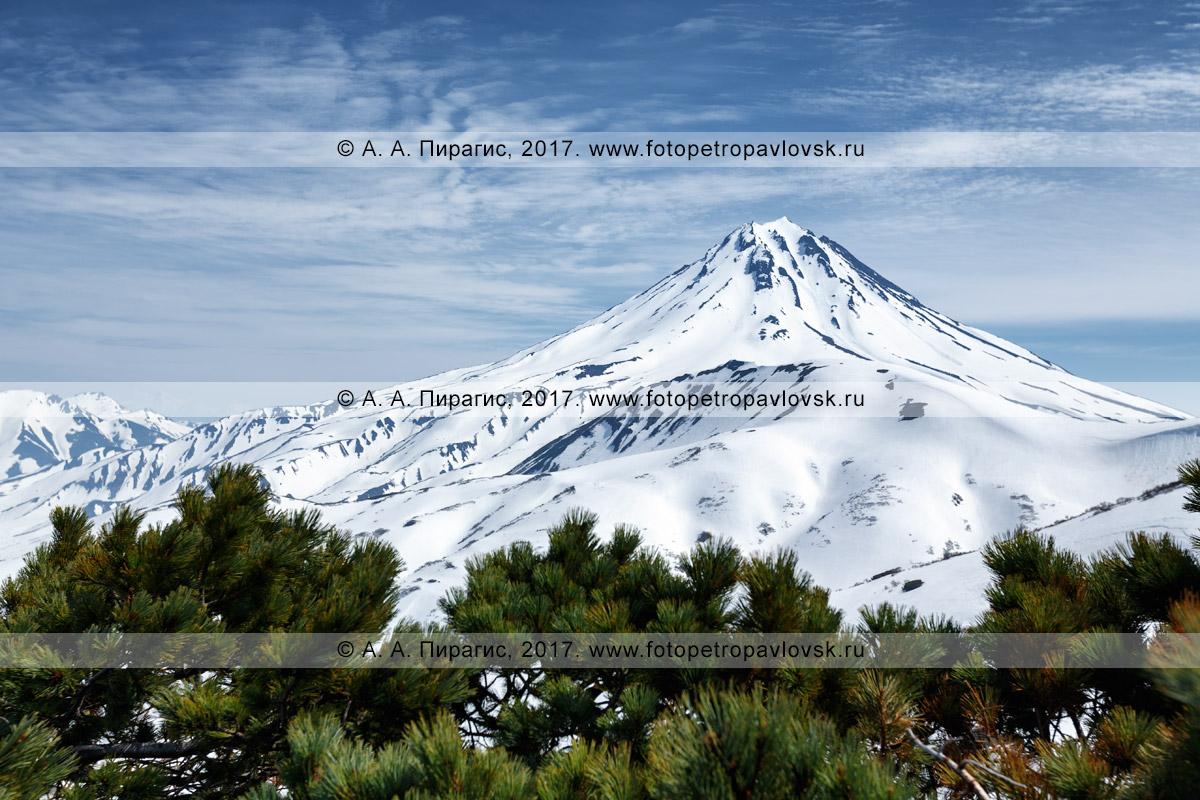 Фотография: живописный Вилючинский вулкан и заросли вечнозеленого кедрового стланика. Вид с Вилючинского перевала на полуострове Камчатка