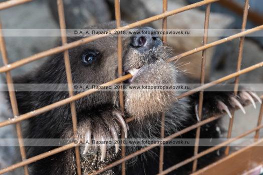 Фотографии камчатской бурой медведицы в Елизовском зоопарке на полуострове Камчатка