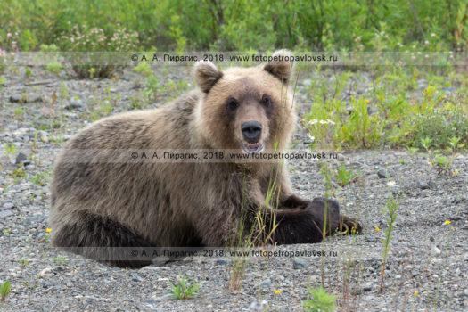 фотографии камчатского бурого медведя, отдыхающего на камнях