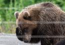 Фотография грустного камчатского бурого медведя