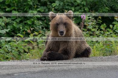 Фотографии ленивого камчатского бурого медведя-попрошайки, лежащего на обочине дороги на полуострове Камчатка