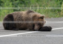 Фотографии дикого камчатского бурого медведя, отдыхающего на обочине асфальтированной автодороги в Камчатском крае