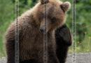 Фотографии камчатского бурого медведя, сидящего на обочине дороги на полуострове Камчатка