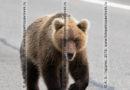 Голодный камчатский бурый медведь идет по дороге