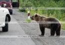 Фотографии голодного дикого камчатского бурого медведя, которого люди кормят человеческой едой из автомобилей.