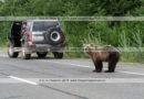 Фотографии голодного дикого камчатского бурого медведя, бродящего по дороге в ожидании дармовой человеческой еды, которую ему дадут люди, проезжающие мимо на автомобилях