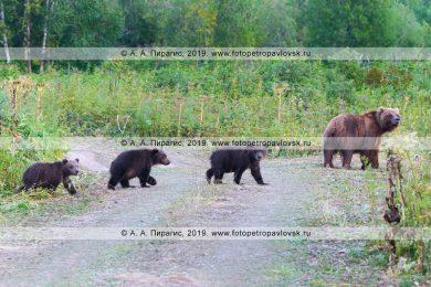Фотографии камчатских бурых медведей в естественной среде обитания на полуострове Камчатка