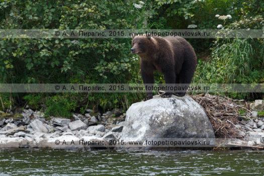 Восемь фотографий камчатский бурый медведь (Ursus arctos piscator)