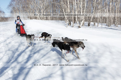Фоторепортаж: камчатская детская гонка на собачьих упряжках «Дюлин» («Берингия-2017»), юноши и девушки 12–17 лет