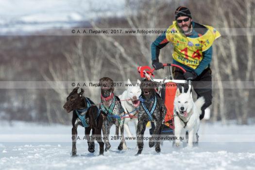 Фотография бегущей собачьей упряжки каюра Ивана Нивани во время гонки-пролога «Берингия» на полуострове Камчатка