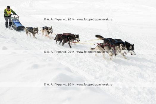 """Традиционная камчатская гонка на собачьих упряжках """"Берингия"""", гонка-пролог на 10 километров. Камчатка, Петропавловск-Камчатский"""