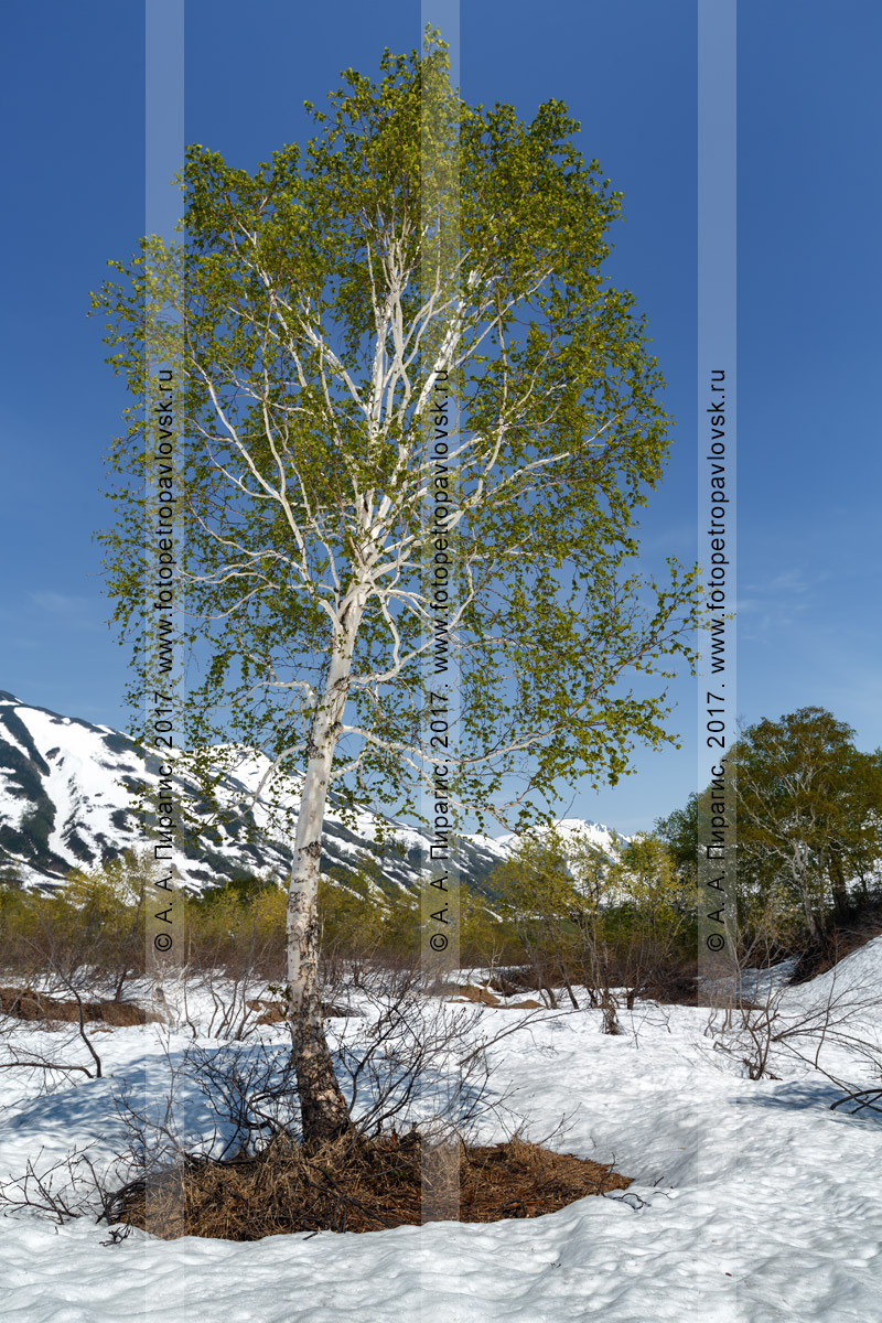 Фотография березки на проталине в камчатском лесу в долине реки Паратунки на полуострове Камчатка