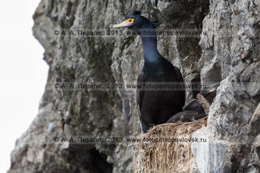 Фотографии птичьего базара, краснолицых бакланов на полуострове Камчатка