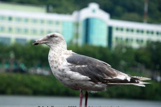 Фотография тихоокеанской чайки