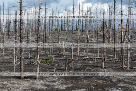 Фотография: Мертвый лес, Большое трещинное Толбачинское извержение (БТТИ), полуостров Камчатка