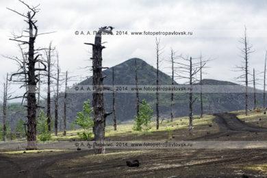 Фотография: драматический вулканический пейзаж полуострова Камчатка, вид на Мертвый лес — последствие Большого трещинного Толбачинского извержения (БТТИ) в 1975–1976 годах