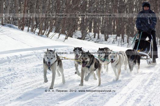 Путешествия на собачьих упряжках по Камчатке