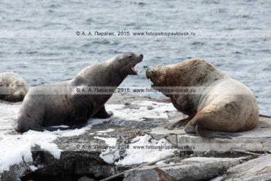 Фоторепортаж: 31 фотография лежбища сивучей, или морских львов Стеллера в Авачинской губе на Камчатке
