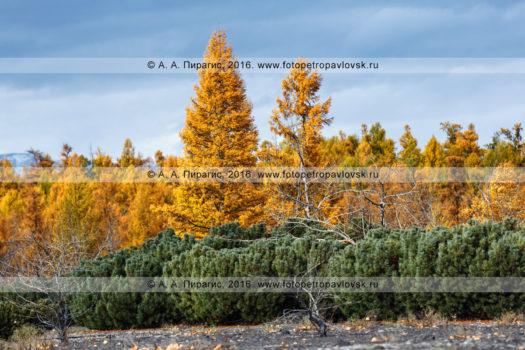 Фотография: осенний пейзаж, хвойный лес полуострова Камчатка — оранжево-желтые деревья лиственницы Каяндера и заросли вечнозеленого кедрового стланика