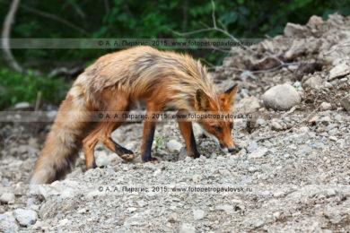 Четыре фотографии рыжей лисицы на полуострове Камчатка