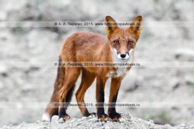 Две фотографии лисицы — хищника семейства псовых на Камчатке