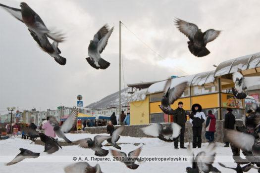Фотографии: камчатские голуби на городском фонтане Петропавловска-Камчатского