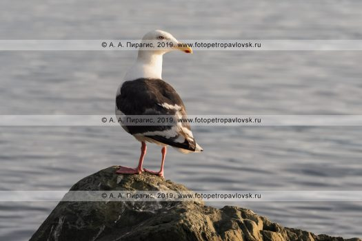 Тихоокеанская чайка Larus schistisagus, семейство Чайковые Laridae