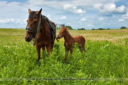 Фотографии камчатских лошадей