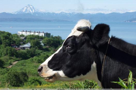Фотография коровы в Петропавловске-Камчатском