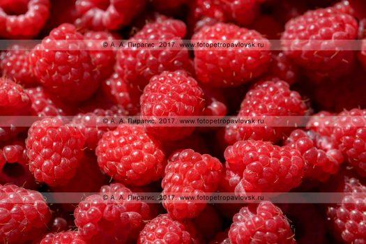Фотография: свежесобранная аппетитная ягода малина