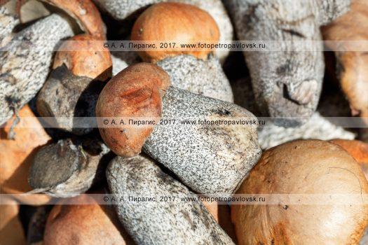Фотография: свежесрезанные грибы подосиновики. Флора полуострова Камчатка