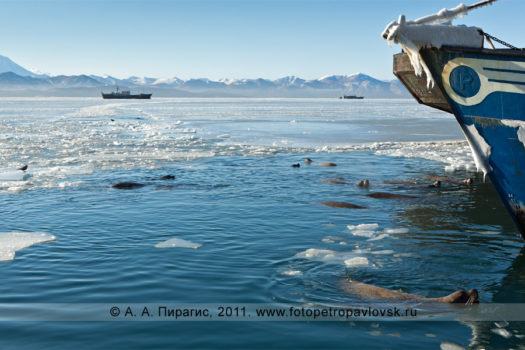 Сивучи, или морские львы Стеллера, в Авачинской губе (бухте). Мыс Сигнальный, город Петропавловск-Камчатский