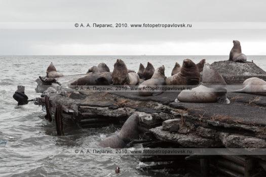 Сивучи, или морские львы Стеллера. Авачинская губа, бухта Моховая, город Петропавловск-Камчатский