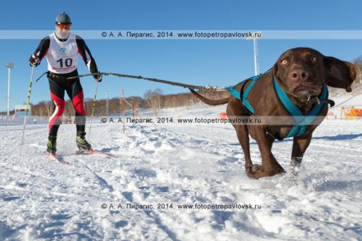 Скиджоринг (гонки лыжников с собаками). Чемпионат и первенство Петропавловска-Камчатского по зимним видам ездового спорта