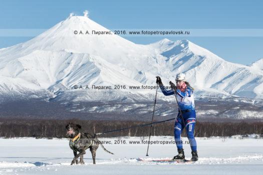 Фотографии скиджоринга с собакой на фоне действующего Авачинского вулкана на Камчатке