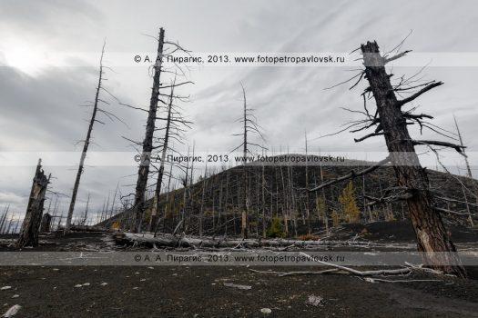 Фотография: дикая природа полуострова Камчатка осенью, драматичный вулканический пейзаж, вид на лиственничный Мертвый лес на Толбачинском долу — последствие знаменитого Большого трещинного Толбачинского извержения (БТТИ)
